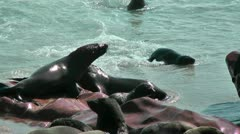 Male fur seals fighting Stock Footage