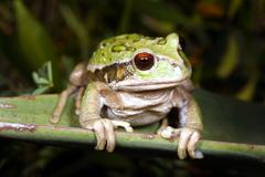 Marsupial frog (gastrotheca riobambae) Stock Photos