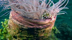 Harlequin crab (Lissocarcinus orbicularis) in tube anemone Stock Footage
