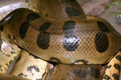 anaconda - eunectes murinus - stock photo