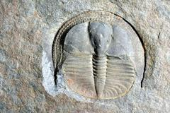 Fossil trilobite Stock Photos