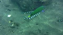 Banded or Harlequin snake eel (Myrichthys colubrinus) digging in the sand Stock Footage