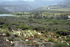 Herd of goats in the arid highlands of ecuador Stock Photos