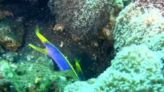 2 blue ribbon eel (Rhinomuraena quaesita) sharing the same hole - stock footage