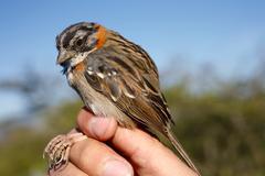Stock Photo of rufus collared sparrow (zonotrichia capensis)