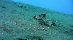 Helmut flying gurnard (Dactyloptena orientalis) Stock Footage