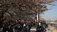 Hanami, Matsuri, Tokyo Sakura Cherry Blossom Festival Season, Japan, Crowds - stock footage