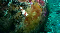 Warty frogfish (Antennarius maculatus) juvenile Stock Footage