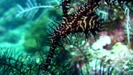 Stock Video Footage of Ornate or Harlequin ghostpipefish (Solenostomus paradoxus) black
