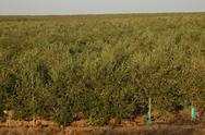 Stock Photo of Olives tree at Portugal.