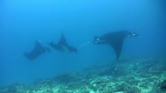 3 Manta birostris (Manta ray) - stock footage