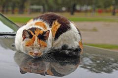 Tortie cat sleeps reflected in the hood of car Stock Photos
