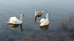 Swimming Swans 5 Stock Footage