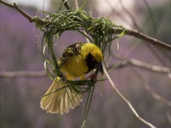 Weaver building nest Stock Footage