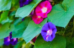 bindweed flowers - stock photo