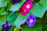 Bindweed flowers Stock Photos