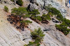 Pine-tree on the rock Stock Photos