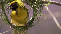 Close up of weaver building nest - stock footage