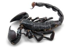 Dark scorpion Stock Photos