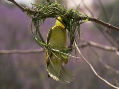 Male weaver building nest with another defocused in the background Stock Footage