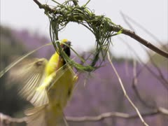 Weaver flys in to build nest Stock Footage