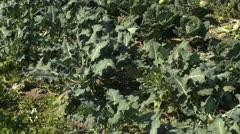 Broccoli 002 Stock Footage