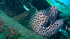 Black-spotted, Honeycomb or Laced moray (Gymnothorax favagineus) close up Stock Footage