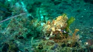 Stock Video Footage of Gigantic pteraeolidia ianthina