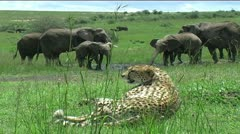 Cheetah & Elephant Herd Stock Footage