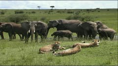 Cheetah Coalition surrounded by Elephant Herd - stock footage