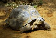 Enormous south african tortoise the bergskilpad Stock Photos
