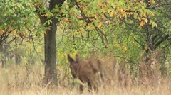 Asses (donkey and a tree) Stock Footage