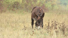 Asses (donkey) _3 Stock Footage