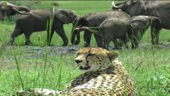 Cheetah with Elephant herd - stock footage