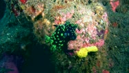 Nembrotha cristata mating Stock Footage