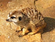 pleading southern african meerkat - stock photo