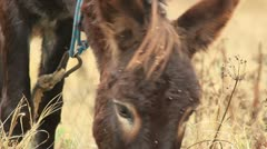Asses (donkey grazing) _1 Stock Footage