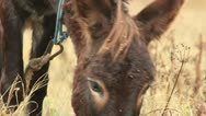 Stock Video Footage of Asses (donkey grazing) _1