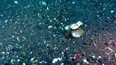 Sea moth (Pegasus) Stock Footage