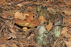 Polish mushroom in the forest (xerocomus badius) Stock Photos