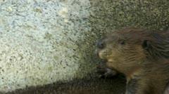 Beaver Sunlight Stock Footage