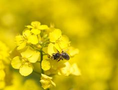 Bee on rapeseed Stock Photos