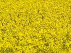 Blooming rapeseed field Stock Photos