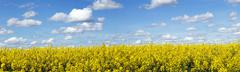 rapeseed field panoramic landscape - stock photo