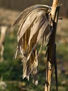 dry corn stalk - stock photo