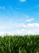 Stock Photo of young wheat field at spring