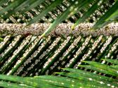 Stock Photo of lice infected palm leaves