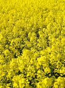 blooming rapeseed field - stock photo