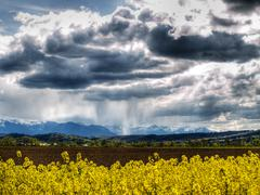 rape field at spring - stock photo
