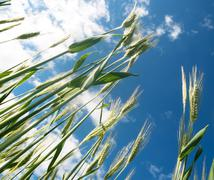 Green barley field Stock Photos
